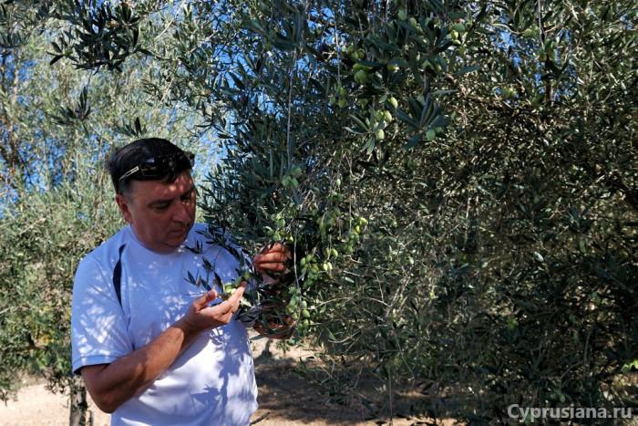Подрастающие оливки