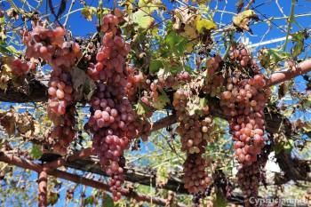 Виноград во дворе