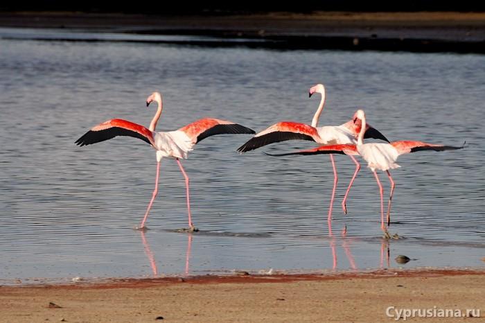 Фламинго у солёного озера в Ларнаке. Перед взлётом.