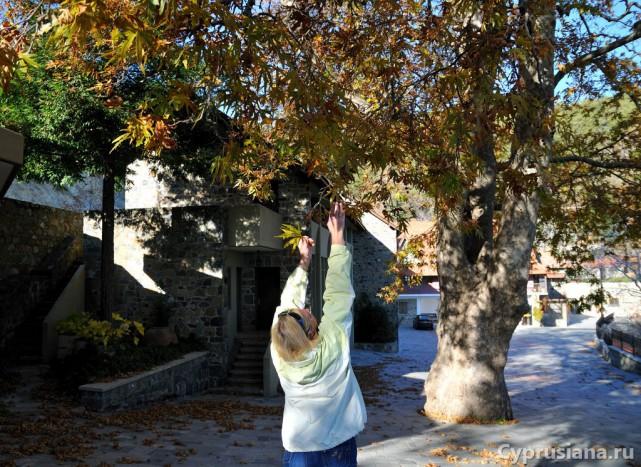 Монастырское дерево