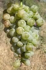 Виноград Ксинистери
