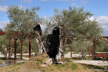 Оливы в парке