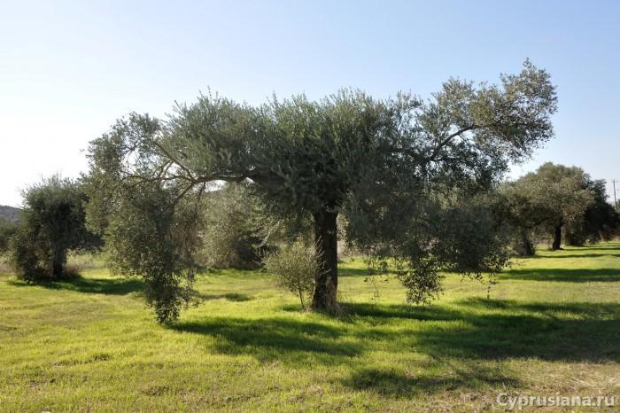 В оливковой роще