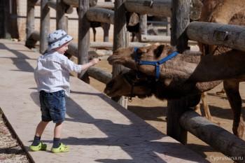 Кормление верблюдов