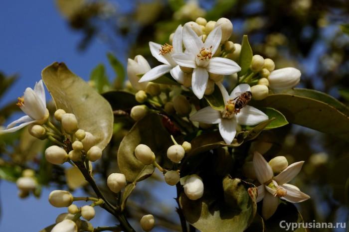 Цветущий лимон