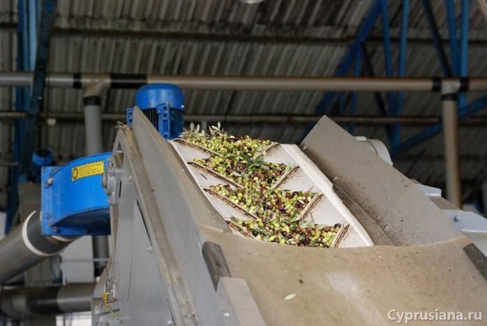 Загрузка олив в моечный аппарат